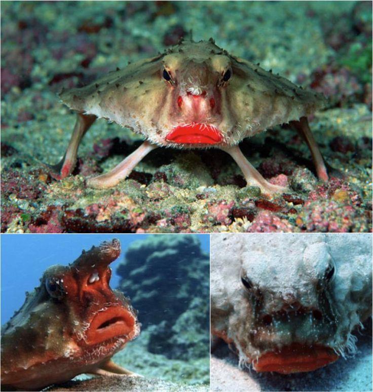 The Red Lipped Batfish