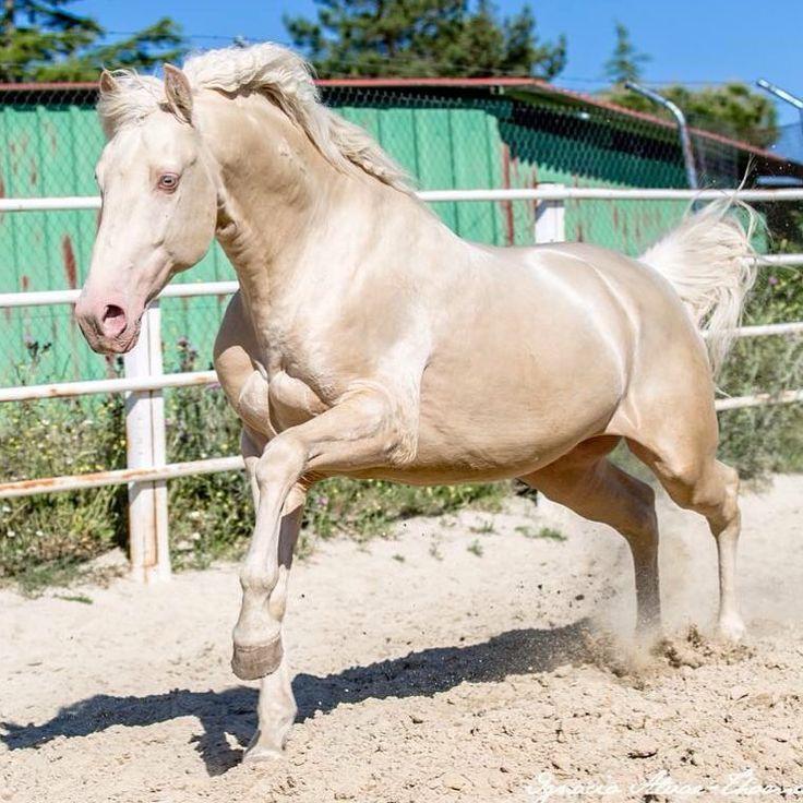 @yeguadalaperlacaballoslusitano #horsesofinstagram #cheval #caballos #lusitano #equinephotography #equestrian #beauty #albino