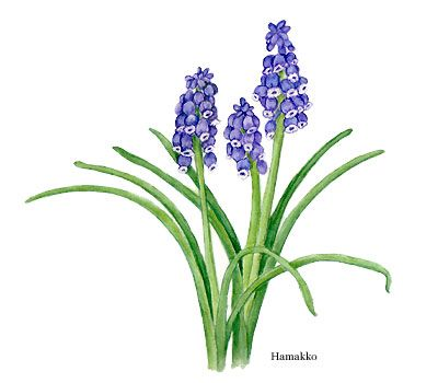 Muscari, Grape hyacinths, Botanical art, Watercolors