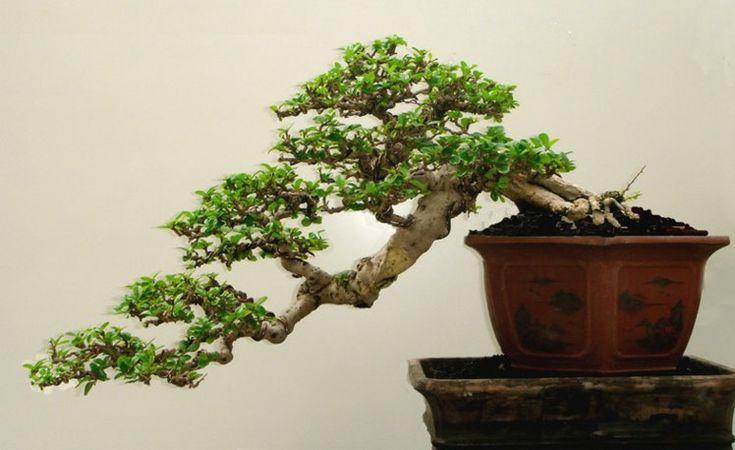 Bonsai 3 - Botanica