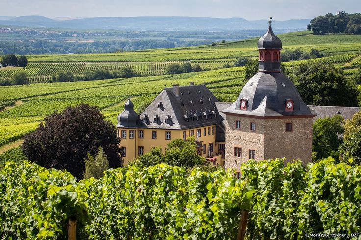 The Rheingau wine region: pure zest for life. The main grape varieties grown in the Rheingau are riesling and pinot noir. The Rheingau has a long tradition of wine-making, started by the abbeys many centuries ago. This reputation opened the doors to all the big stately homes for the Rheingau wineries as suppliers of premium vintages. The Rheingau also enjoys an excellent reputation worldwide as the home of the Centre for Viticulture and Oenology in Geisenheim.
