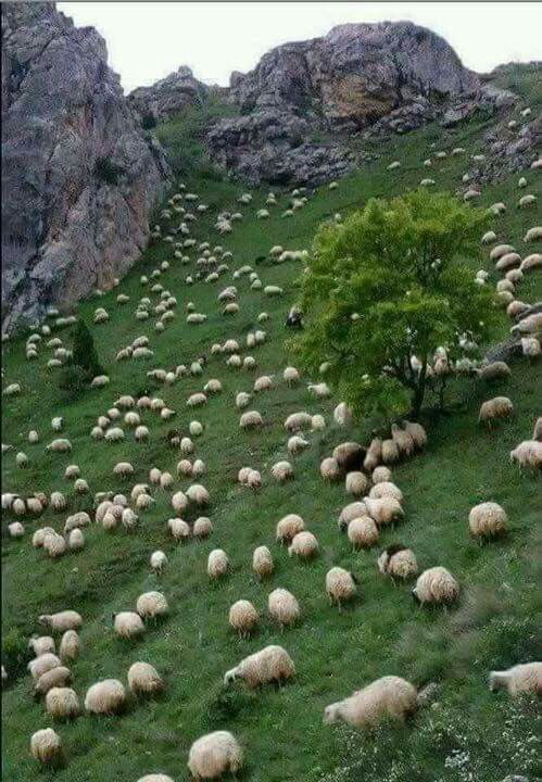 Can you imagine what would happen if one of the sheep st the top of the hill fell and started rolling down the hill colliding with others