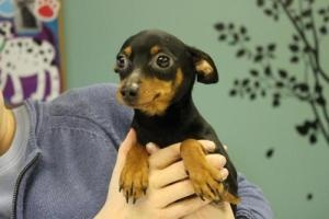 Angie is an adoptable Miniature Pinscher Dog in Lockport, NY. Angie is a minature doberman pinscher andis solid black with brown feet and markings.Angie isfull grown and weighs only 10 lbs..S...