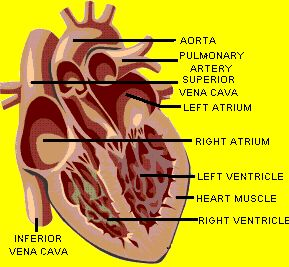 Keeping Your Heart Pumping: The Ventricles