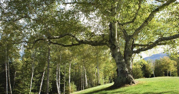 Cómo eliminar el moho negro en árboles de cítricos