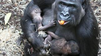 Zeldzaam: tweeling-gorilla geboren