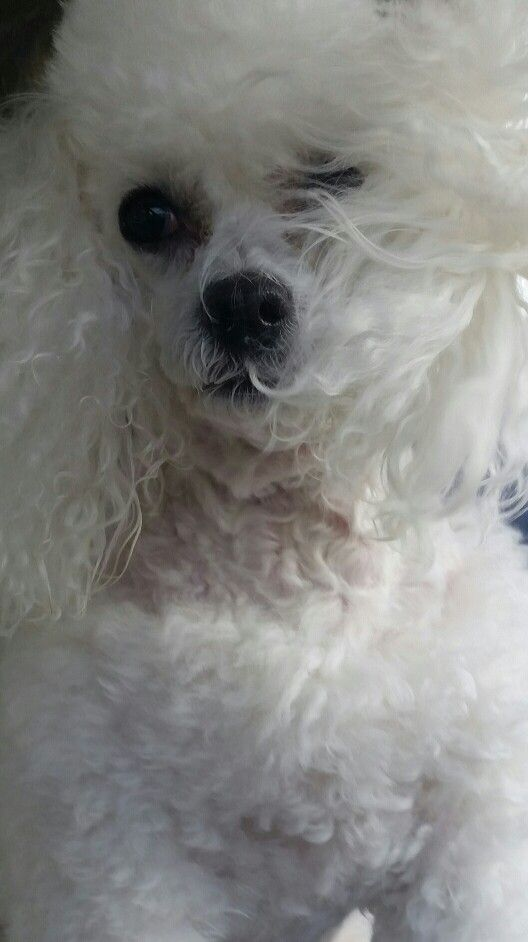 Poodles can inspire that feeling. PK.  My love
