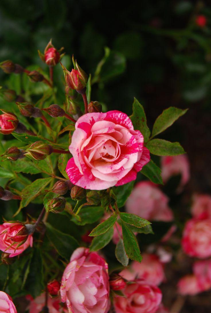 20 best flower carpet pink splash roses images on pinterest
