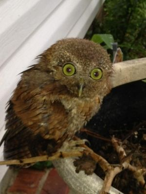 This little guy fell out of his tree during a stormAnimal Lovers, Ohh Owls, Beautiful Animal, Owls Boards, Trees, Storms, Beautiful Birds, Guys Fell