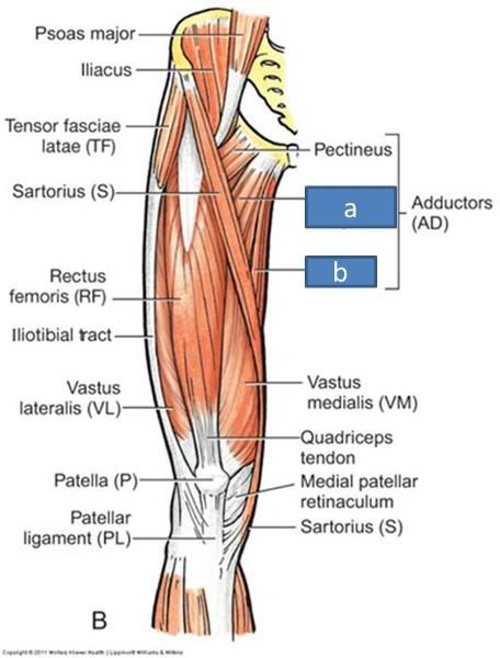 m quadriceps femoris - Google Search | ANATOMY | Pinterest ...