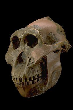 Paranthropus boisei was first discovered by Mary Leaky in 1959 and was first termed Zinjanthropus boisei or Zinj.  The oldest Paranthropus boisei was found at Omo, Ethiopia and dates to approx 2.3 Ma, while the youngest was found at Olduvai Gorge, and dates to approx 1.2 Ma.  P. boisei is best known for its enormous postcanines, & seems to be the end point of a lineage that was adapted to high masticatory stress needed to deal w/hard low-quality food