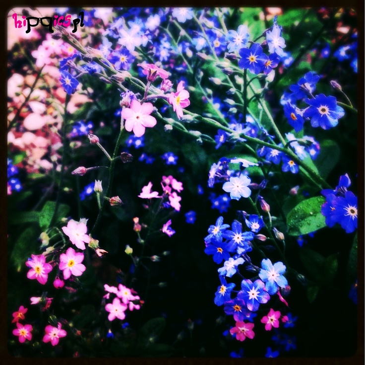 Forget-me-not - pink and blue