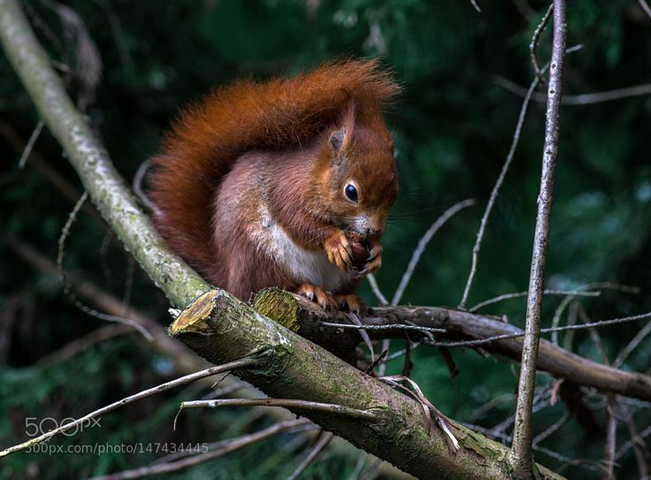 Red squirrel ... by JuliesPhotography. @go4fotos