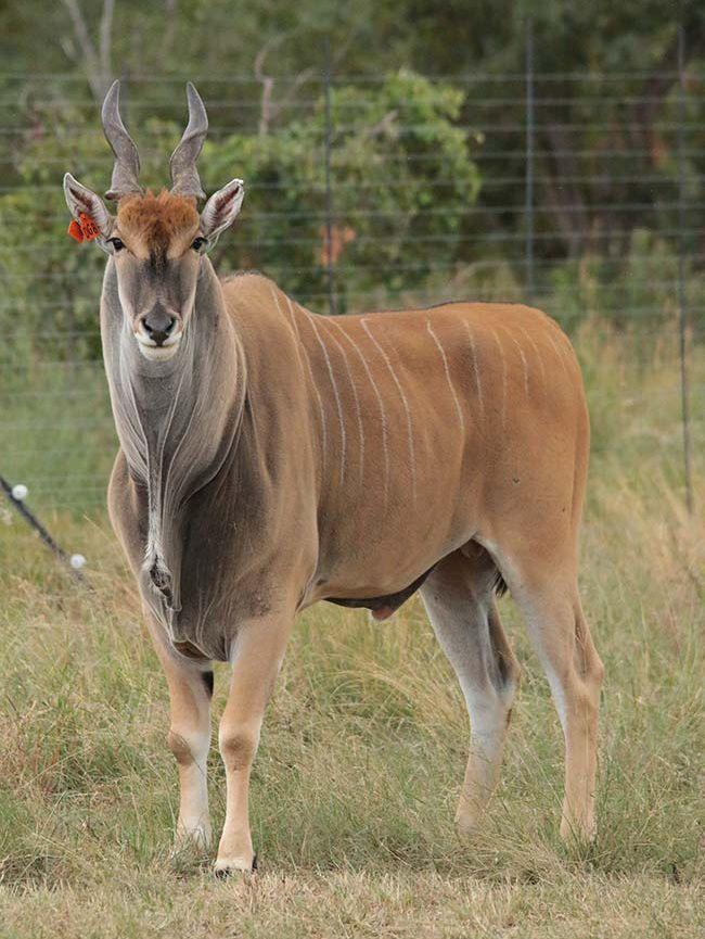 Livingstone Eland
