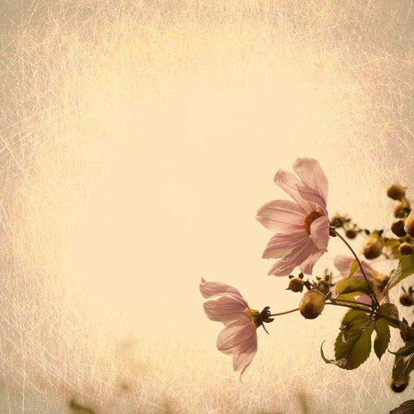 Vintage Flower Background | ... Pink Daisyes on cream ...