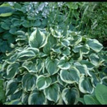 Blomsterfunkia - perenn  Hosta fortunei  Hostaceae Mycket tålig och vacker perenn som finns med flera olika bladfärger beroende på sort. Blommar med ljust lila blommor på höga stänglar.