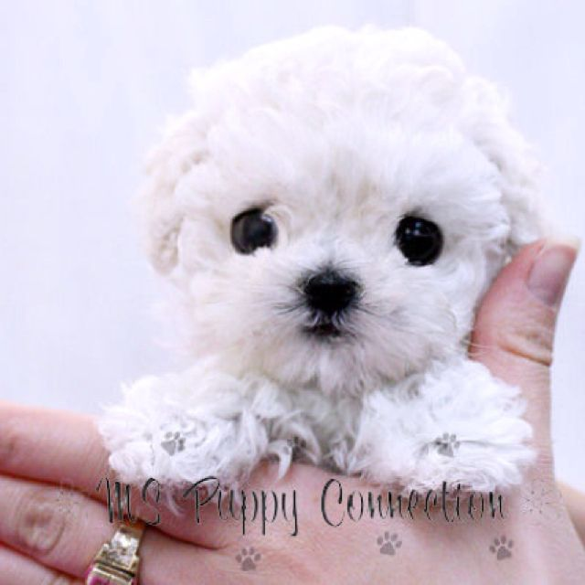 Tea Cup Poodles- one day I will have a teacup or toy poodle to sit on my lap....memories of my childhood