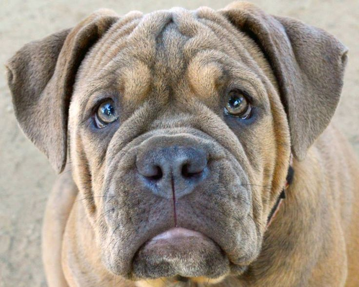 olde english bulldogge vs english bulldog the 25 best olde english bulldogge ideas on pinterest 5296