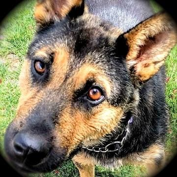 Meet JETTA, an adoptable German Shepherd Dog looking for a forever home. If you're looking for a new pet to adopt or want information on how to get involved with adoptable pets, Petfinder.com is a great resource.