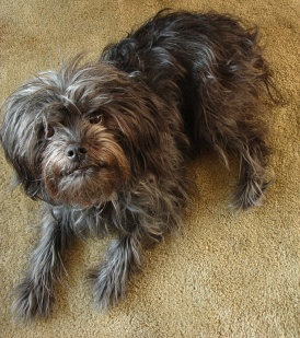 Affenpinscher  Merece un puesto en la lista de los perros más raros del mundo por su originalidad. Es una raza miniatura de las más pequeñas del mundo que no suele llegar a los 30 centímetros y que pesa unos 3 kilogramos. Es una raza originaria de Alemania y con características muy peculiares similares a las del Terrier y al Pinscher.