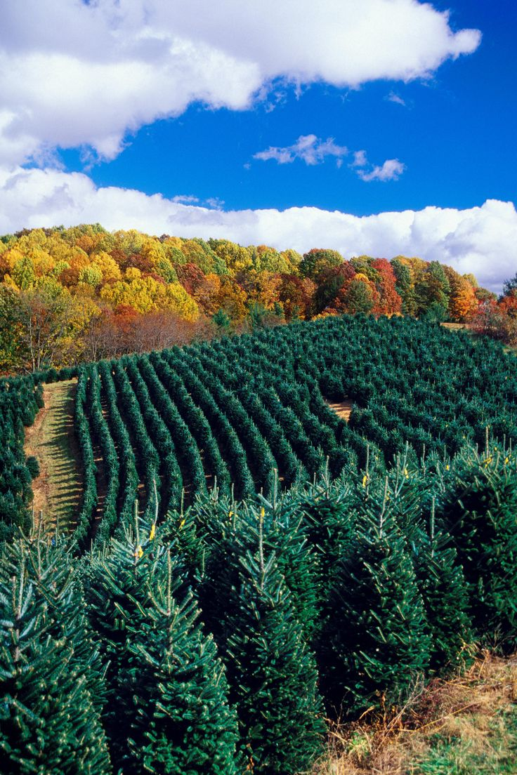Boone Christmas Tree Farms