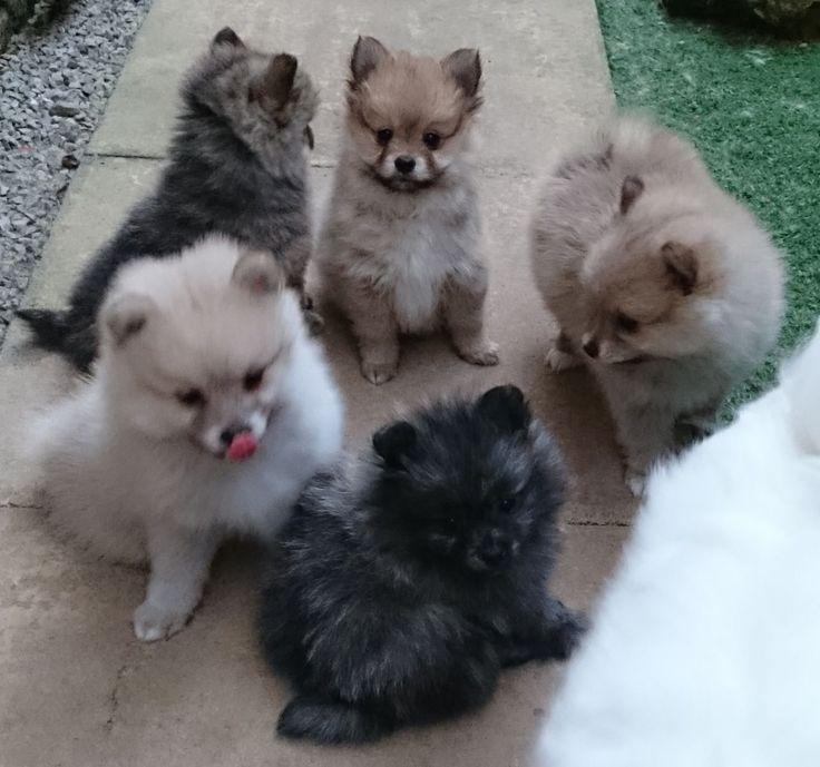 Rare Pomeranian Colors | Pomeranian Puppies 1 Cream Rare Color 1 Orange Sable For Sale Adoption ...