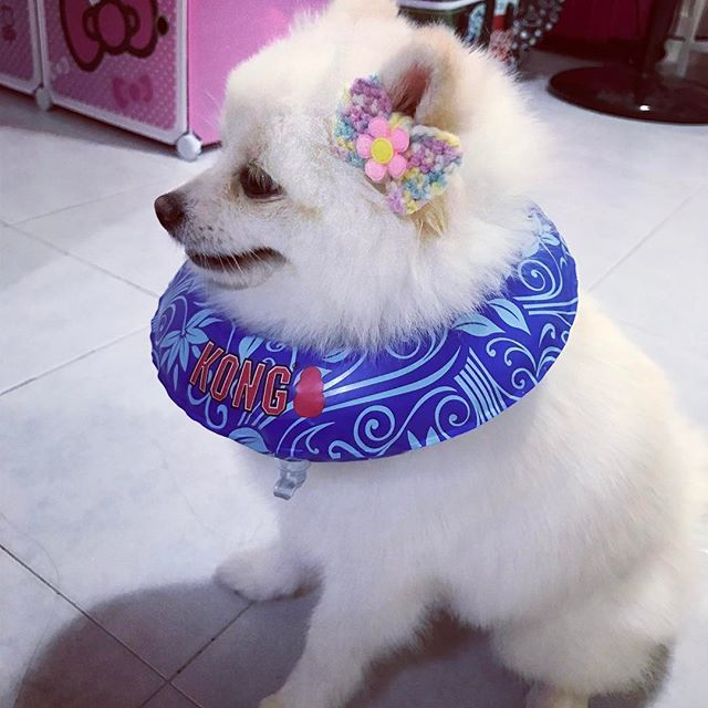 Mama are we gg to the beach or swimming 🏊 pool? Why am i in the feel of hawaii?? . . Wait a min.... mama did you just said that, the ear accessories is meant for the pretty korkor @tobyythepom???? . . I am just pawdelling for @gals_affairs with it?!?! Haiz... mama... that is not a ribbon 🎀 that is an 🍎 shape... does it mean, toby kor kor is the apple of your eyes 👀?? . . I angry 😡 mama!!! . . . #pompup_feature #totallypawsomepups #cutedog #博美犬 #dogsofig #개 #포메라니안 #愛犬 #かわいい犬 #개 #スピッツ…