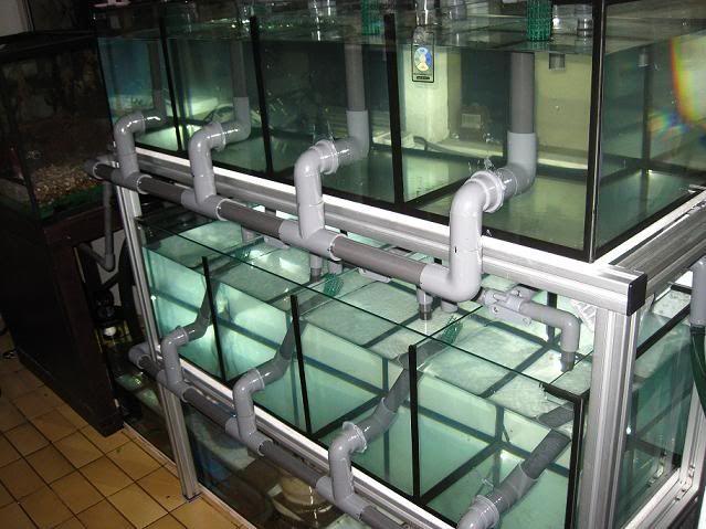 Fish breeding tank showoff info thread aquarium for Koi fish tank setup