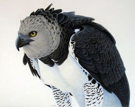 Image result for the most amazing pics of the harpy eagle