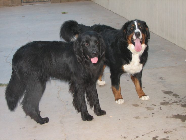 Odin the Newf and his best friend Thor the Bernese Mtn dog.....