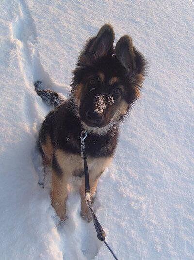 German Shepherd Dog puppy in the snow.