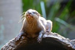 Rosie the Otter