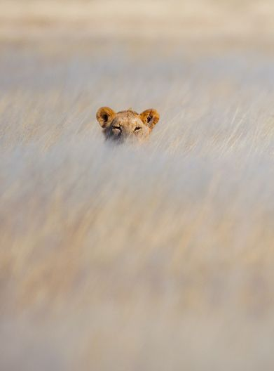 Lion   Icon of Wild Africa - will they exist 10 years from now? Predictions suggest not.