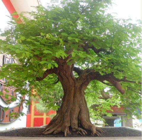 bonsai asem jawa juara