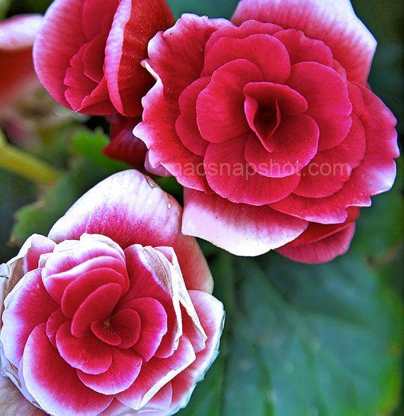 Wild Rose by EleniMacPhotography on Etsy, €14.53