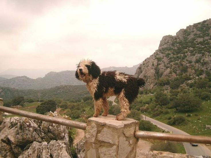 Todo sobre el Perro de agua español   Mascotas   RED facilisimo ...
