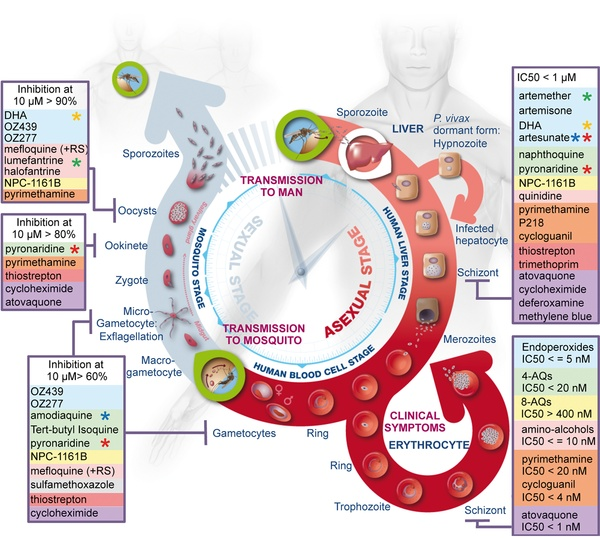 Summary of the activity of the most widely used antimalarials throughout the life cycle of Plasmodium. (PLoS Medicine)