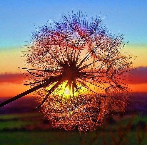 Sunset behind dandelion