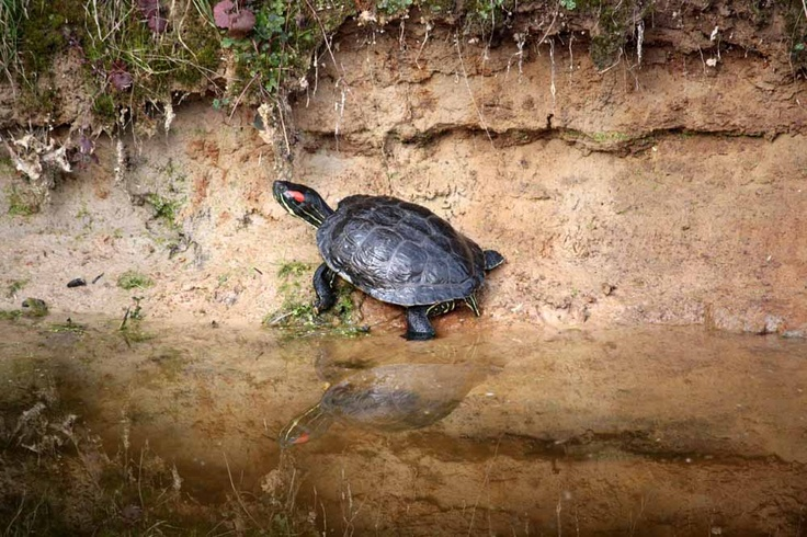 Water turtle - This turtle just appeard in the pond at Falconcrest and has made it it's home.