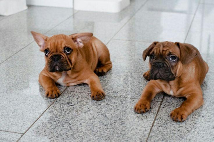"""<3 bruce <3 mit bruder rocco <3 wir üben """"platz"""" :)   #frenchbully #frenchdog #frenchbullys #frenchy #bully #dog #dogs #welpe #hund #family #französischebulldogge #frenchbulldog #lebenmittieren #hundeliebe #kleinehunde #puppy #puppylove #frenchy #photography #photo"""