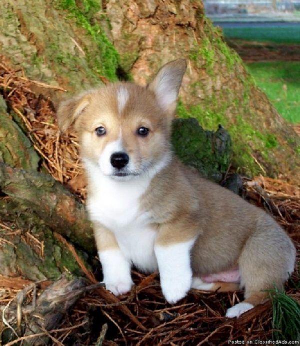 corgi puppies for sale in oregon | Zoe Fans Blog