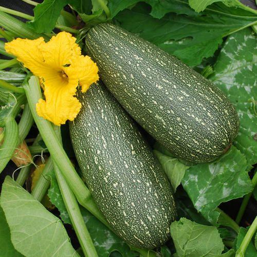 Durante la stagione #estiva, le #zucchine rappresentano l'ingrediente più versatile che si possa trovare: potrete preparare primi, secondi e addirittura dolci!