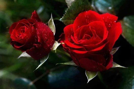 Imagen: Gyönyörű piros rózsák,Gyönyörű rózsák,Csodaszép rózsák,Gyönyörű ...