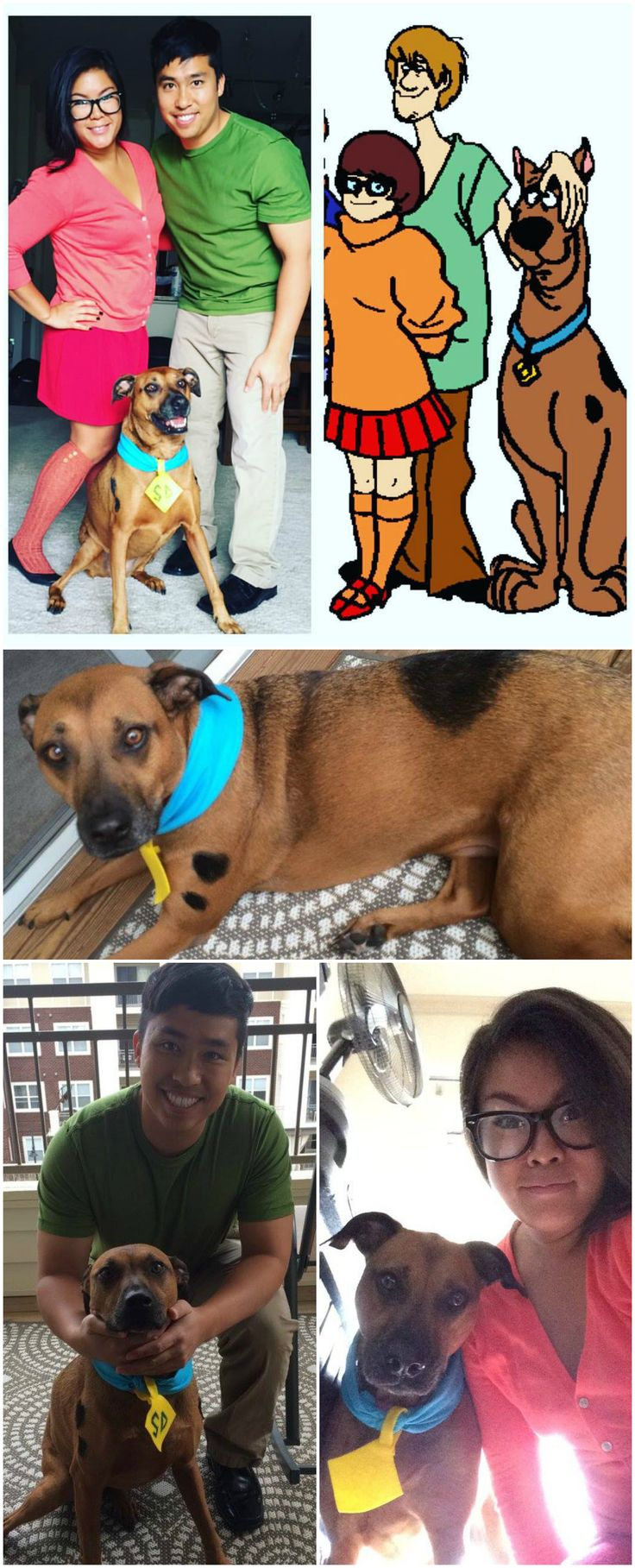Scooby Doo Dress Up. Easy diy costumes. Dog costume painted spots made the dog tag out of felt and used a blue bandana for the collar. halloween costume scooby, shaggy, and velma - jinkies! mut boxer ridgeback dog. diy costumes with dogs, scooby doo cosplay. Rhodesian Ridgeback, PitBull mutt. #chloebearpawdventures