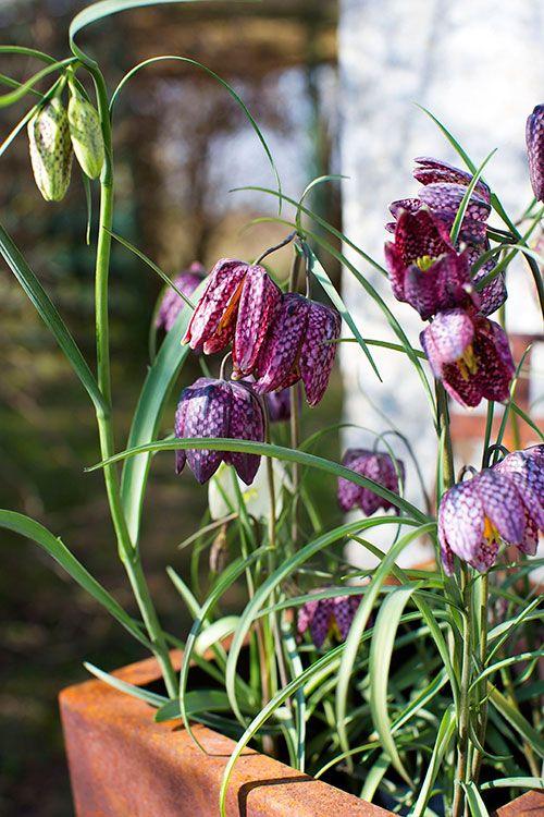 Kungsängslilja, Fritillaria meleagris   Kungsängsliljan är ett naturens konstverk med sitt schackrutiga mönster i rosa och lila. Här i en kvadratisk kruka i oxiderat järn, 425 kr, från Plantskolan i Vellinge.   spring flower arrangement