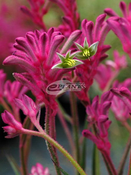 kangaroo paw plant care instructions