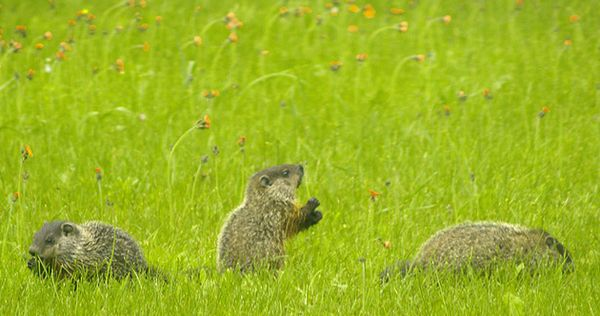 Adorable Baby Groundhogs That Will Make You Forget About Winter