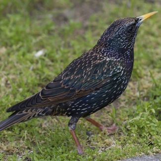 "Common starling | Sturnus vulgaris -  feeds on a wide variety of insect prey as well as fruits and seeds and competes against indigenous species for the same resources. Problem in Western and Eastern Cape, and into Northern Cape, Free State and KwaZulu-Natal."" from http://www.invasives.org.za/"