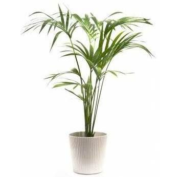 The Kentia palm is a fairly easy plant member from the Howea genus to take care of indoors that displays wide leaflets.