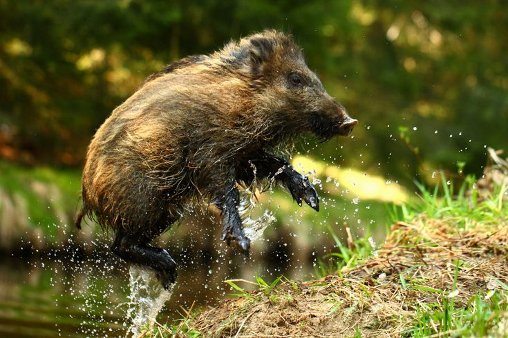helicopter pig hunt with Wild Suidae Pig on Whitemtn as well Picture Of The Day How To Shoot A  pound Bow also I Should Buy A Boat Cat likewise Wild Suidae Pig together with Worlds Largest Fish World Record.
